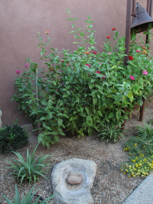 between the added metate stone and the cosmos, an Agave bracteosa should be moved towards the stone